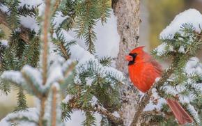 Картинка снег, ветки, дерево, птица, Красный кардинал