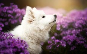 Картинка цветы, собака, щенок, профиль, мордашка, хризантемы, боке, Самоед