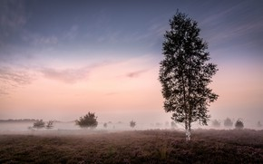 Картинка туман, утро, берёза