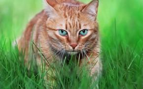 Картинка зелень, кот, морда, травка