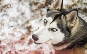 Картинка зима, лес, снег, собака, прогулка, хаски, dog, сибирский хаски