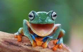 Обои кора дерева, nature, лягушка, лапки, фон, природа, Индонезии, Ява, animals, провинция, боке, wallpaper., размытость, frog, ...