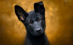 Картинка взгляд, фон, собака, щенок, уши, мордашка, Немецкая овчарка