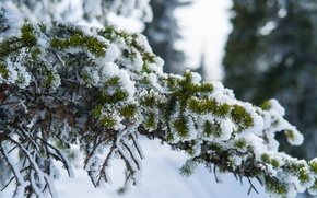 Картинка снег, природа, ветви, ели, шерегеш
