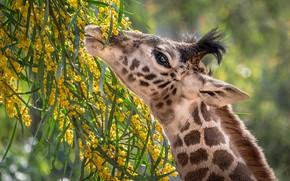Обои шея, еда, жираф, мимоза