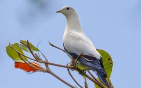 Картинка птица, ветка, двуцветный фруктовый голубь