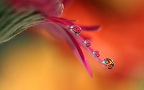 Обои капли, цветок, лепесток