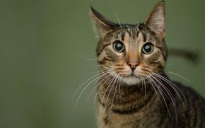 Картинка кошка, глаза, кот, взгляд, морда, серый, фон, портрет, полосатый, дикий