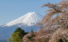 Картинка вулкан, сакура, Гора Фудзияма