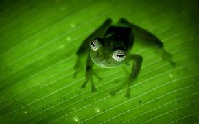 Картинка природа, Коста-Рика, земноводное, лягушка-привидение