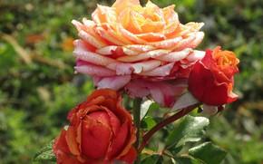 Картинка роза, бутоны, роса