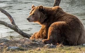 Обои животные, река, берег, медведь, коряга, дикая природа, бурый