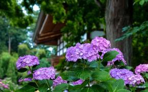 Картинка Japan, гортензия, в саду, в каплях