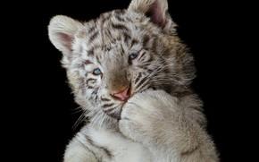 Обои чёрный фон, лапа, белый тигр, тигрёнок, тёмный фон