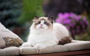 Картинка кошка, взгляд, подушки, голубые глаза, мордашка, пушистая кошка, рэгдолл