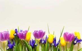 Картинка цветы, желтые, фиолетовые, тюльпаны, fresh, yellow, flowers, beautiful, tulips, spring, purple