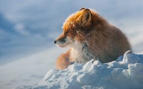 Картинка лиса, зима, рыжая, снег, дикая природа, лежит
