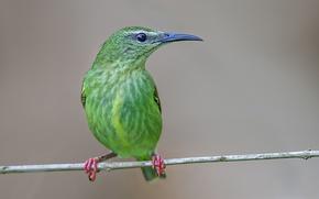 Картинка птица, ветка, клюв, бирюзовая танагра-медосос