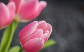 Картинка природа, тюльпан, лепестки