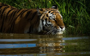 Картинка трава, взгляд, морда, вода, кошки, тигр, отражение, фон, заросли, берег, купание, дикие кошки, водоем, дикая …