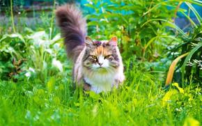 Картинка зелень, кошка, лето, трава, кот, взгляд, листья, растения, сад, хвост, прогулка, ярко, выражение, мордаха, пушистая, …