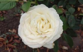 Картинка фон, роза, белая, Meduzanol ©