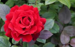Картинка лето, природа, куст, Роза, сад, красивая, красная, вид сверху, крупным планом