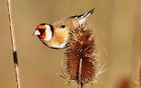Картинка птица, растение, клюв, хвост, щегол