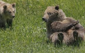 Картинка трава, медведи, медвежонок, медведица, Гризли