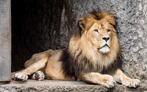 Картинка лев, зверь, зоопарк