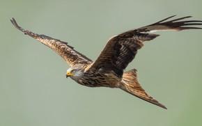 Картинка взгляд, полет, птица, орел, летит, bird, flight, eagle, sight, flies