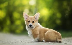 Картинка друг, уши, собачка, вельш-корги