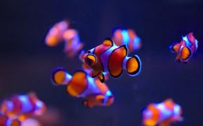 Картинка рыбки, аквариум, Рыба-клоун, Clownfish