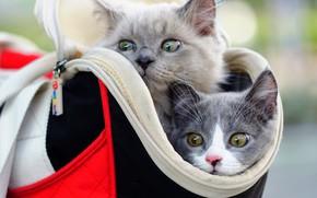 Картинка котята, сумка, малыши, парочка, мордочки