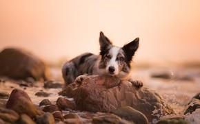 Картинка собака, море, берег