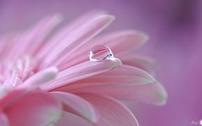 Обои цветок, розовый, капля, лепестки