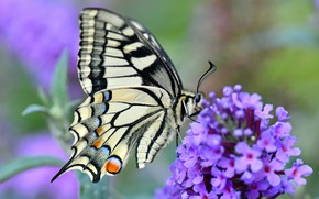 Обои цветок, макро, махаон, боке, бабочка