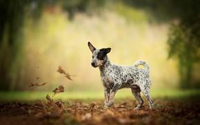 Картинка осень, листья, собака, боке, пёсик