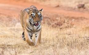 Обои природа, тигр, животное