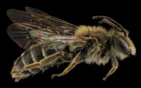 Картинка природа, пчела, крылья, насекомое