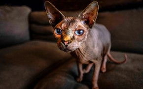 Обои кошка, взгляд, сфинкс, голубые глаза, уши, морда, кот