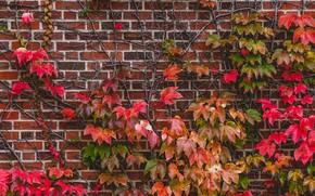 Картинка листья, стена, растение