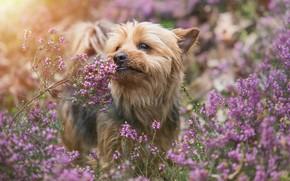 Картинка собака, Йоркширский терьер, Йорк, вереск