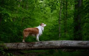 Картинка лес, дерево, рыжий, пёс