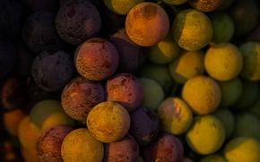 Картинка Italy, wine, grapes, Piemonte, red wine, Denominazione di Origine Controllata e Garantita, Barbaresco, DOCG, vitis …
