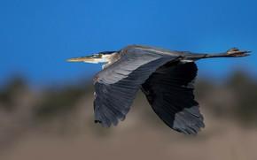 Картинка полет, птица, крылья, клюв, большая голубая цапля