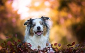 Картинка морда, листья, собака, боке, Австралийская овчарка, Аусси