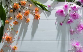 Картинка цветы, colorful, хризантемы, heart, flowers, romantic