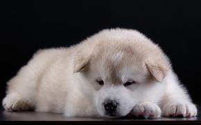 Картинка милый, щенок, уши, акита