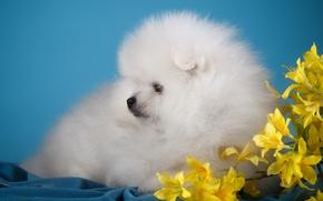Картинка белый, цветы, милый, щенок, шпиц